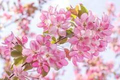 Árvore de maçã cor-de-rosa de florescência imagens de stock