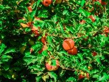Árvore de maçã cor-de-rosa ideal Imagens de Stock