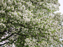 Árvore de maçã da flor Fotos de Stock Royalty Free