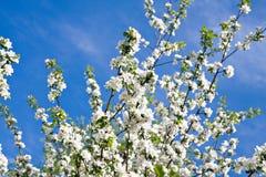 Árvore de maçã da flor foto de stock royalty free