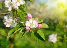 Árvore de maçã da flor em um jardim da mola na luz solar (fundos - Fotos de Stock Royalty Free