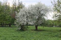 Árvore de maçã da flor no por do sol do campo Imagem de Stock Royalty Free
