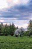 Árvore de maçã da flor no por do sol do campo Foto de Stock Royalty Free