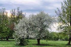 Árvore de maçã da flor no por do sol do campo Imagens de Stock Royalty Free