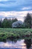 Árvore de maçã da flor no por do sol do campo Foto de Stock