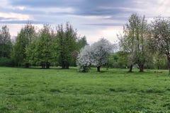 Árvore de maçã da flor no por do sol do campo Imagens de Stock