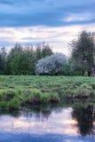 Árvore de maçã da flor no por do sol do campo Fotografia de Stock