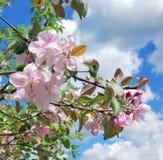 Árvore de maçã de florescência Foto de Stock Royalty Free
