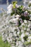 A árvore de maçã de florescência Foto de Stock