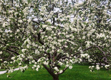 Árvore de maçã de florescência Fotografia de Stock Royalty Free