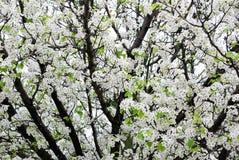 Árvore de maçã de florescência branca Imagem de Stock Royalty Free