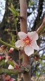 Árvore de maçã de florescência com flor branca imagens de stock