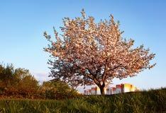 Árvore de maçã de florescência com flores cor-de-rosa imagem de stock