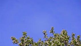 Árvore de maçã de florescência contra o céu azul claro filme