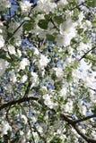 Árvore de maçã de florescência em maio em Moscou Foto de Stock Royalty Free