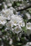Árvore de maçã de florescência em maio em Moscou Fotografia de Stock Royalty Free