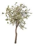 Árvore de maçã de florescência isolada da cor branca Imagem de Stock Royalty Free