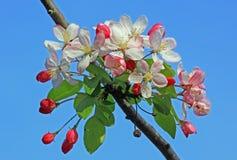 Árvore de maçã de florescência na primavera Imagem de Stock Royalty Free