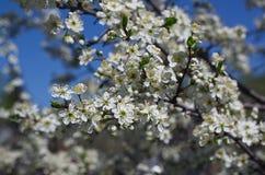 Árvore de maçã de florescência no fundo do céu azul Fotos de Stock Royalty Free