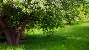 Árvore de maçã de florescência no jardim filme