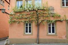Árvore de maçã de florescência que cresce perto da casa Fotos de Stock Royalty Free