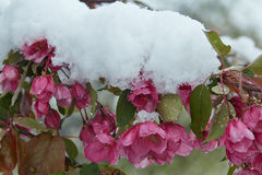 Árvore de maçã de florescência sob a neve foto de stock royalty free