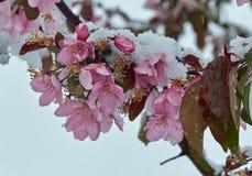Árvore de maçã de florescência sob a neve imagem de stock royalty free