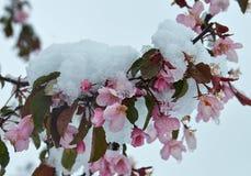 Árvore de maçã de florescência sob a neve fotografia de stock