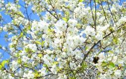 Árvore de maçã de Flovers Fotos de Stock