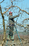 Árvore de maçã de poda Imagem de Stock