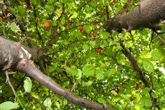Árvore de maçã do caranguejo imagens de stock