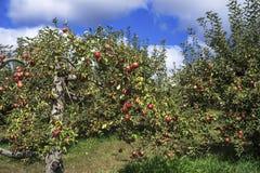Árvore de maçã do envelhecimento fotografia de stock royalty free