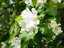 Árvore de maçã do ramo Imagem de Stock Royalty Free