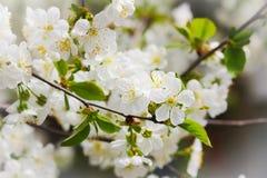 A árvore de maçã está na flor Close-up Foto de Stock