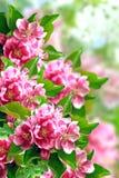 Árvore de maçã de florescência Foto de Stock