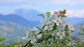 Árvore de maçã de florescência com as montanhas no fundo vídeos de arquivo