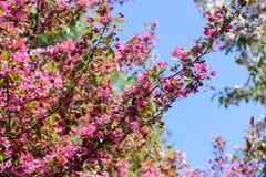 Árvore de maçã de florescência da mola Foto de Stock Royalty Free