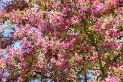 Árvore de maçã de florescência da mola Imagens de Stock Royalty Free