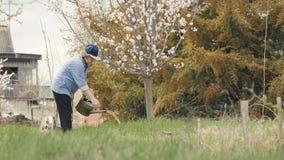 Árvore de maçã de florescência molhando da mulher do jardineiro do potenciômetro molhando ao jardinar vídeos de arquivo