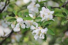 Árvore de maçã de florescência na mola Fotografia de Stock Royalty Free
