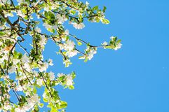 Árvore de maçã de florescência no fundo do céu azul - fundo floral da mola Fotografia de Stock