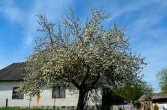Árvore de maçã florescida imagens de stock