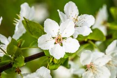 A árvore de maçã na primavera na flor fotografia de stock
