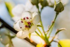 A árvore de maçã na primavera na flor foto de stock