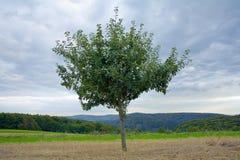Árvore de maçã só foto de stock