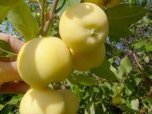árvore de maçã Semi-cultural com maçãs No ramo, diversos pequenos iluminam-se - as maçãs amarelas são iluminadas pelo sol imagem de stock