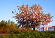 Árvore de maçã solitária na florescência fotos de stock