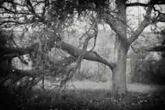 Árvore de maçã velha Imagem de Stock