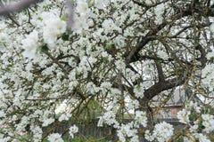 Árvore de maçã velha do jardim na coberta da flor completa da mola com as flores brancas nevado no fundo da casa de log da explor Imagens de Stock