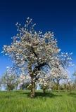 Árvore de maçã velha na flor completa Imagens de Stock